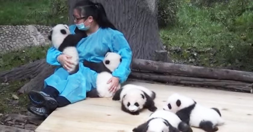 Cel mai tare loc de munca: Ai grija de ursi Panda si esti platit cu 32.000 de dolari