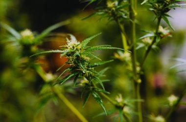 cannabis transilvania