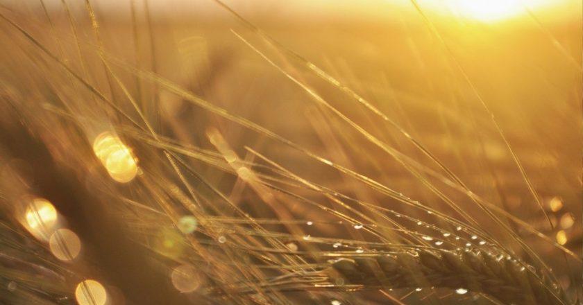 De unde să achiziţionezi seminţe de triticale calitative?