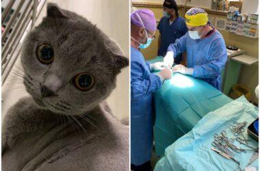 O pisică cu o anomalie rară a inimii a fost operată cu succes la USAMV Cluj